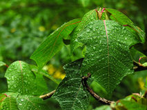 Wet leaves. Close up stock photography