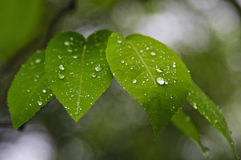 Wet leaves. Close up of green wet leaves Royalty Free Stock Images