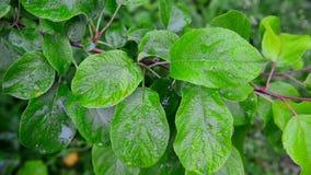 Wet leaves apple tree in rain. Wet leaves apple tree in the rain stock video footage