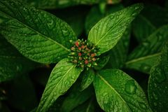 Wet Leaves Of A Flowering Pentas Plant Stock Image