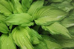 Wet leaves of Hosta Fortunei Gold Standard. In summer day, green nature background Royalty Free Stock Image