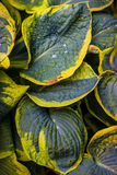 Wet leaves of Hosta Stock Images