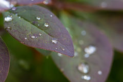 Wet leaves with many water Royalty Free Stock Photo