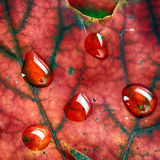 Wet leaves  of maple Stock Photos