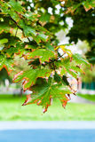 Wet leaves of maple tree in rainy autumn day Stock Photo