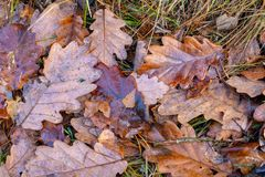 Wet leaves of an oak tree lying on a forest path. Leaves of deci royalty free stock image