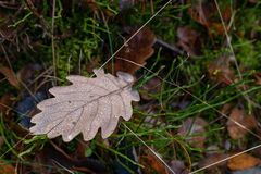 Wet leaves of an oak tree lying on a forest path. Leaves of deci royalty free stock photo