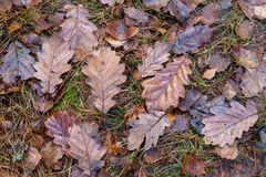 Wet leaves of an oak tree lying on a forest path. Leaves of deci royalty free stock photos