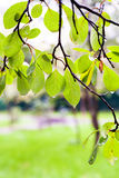 Wet leaves of plum tree in city park in rainy day Stock Photo