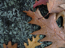 Wet Leaves On Rock Royalty Free Stock Photography