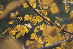 Wet leaves. And twigs of a lime tree in autumn Royalty Free Stock Photography