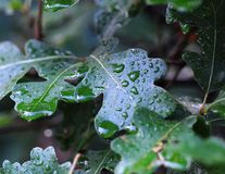 Wet leaves. Water droplets on a leaves after a summer rain Royalty Free Stock Photos