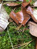 Wet Leaves. On moss Royalty Free Stock Image