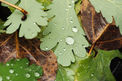Wet leaves Stock Images