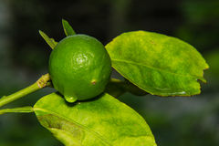 Wet lemon on tree Stock Images