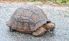 Wet Leopard tortoise Stock Photos