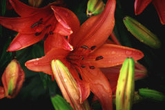 Wet Lilies Stock Photo