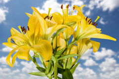 Wet Lilies After the Rain Royalty Free Stock Images