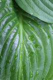 Wet lily leaf Stock Photo