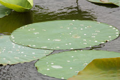 Wet Lilypads Royalty Free Stock Images