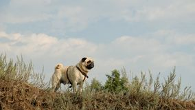 The wet little dog is a pug of Confucius, looking distant, against the background of a blue sky. Royalty Free Stock Photo