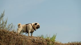 The wet little dog is a pug of Confucius, looking distant, against the background of a blue sky. Royalty Free Stock Images