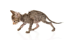 Wet little kitten isolated on white background Stock Photography