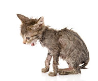 Wet little kitten  on white background Stock Photos
