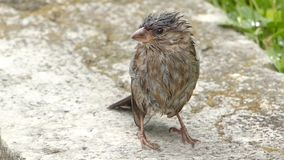 Wet little sparrow stock footage