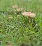 Wet living mushrooms in green grass after rain Stock Image