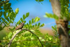 Wet lonely sparrow in the summer and warm weather hang on to tree branch with blur orange sky background royalty free stock photography