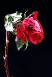 Wet love rose. Wet red rose isolated on black background Stock Image