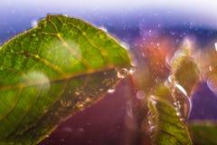 Fresh leaves with big drops. Abstract bokeh background. Macro scenery. Wet macro leaves with big drops and bokeh circles. Abstract nature scenery. Nature macro royalty free stock image