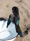 A wet Magpie or Pica Pica is cleaning his plumage. stock images