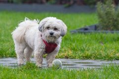Wet Maltese dog / Shih tzu in red harness with tennis ball in rain. A little bit of rain won`t stop her from playing with her ball Royalty Free Stock Photo
