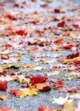 Wet maple autumn leaves on sidewalk after rain. Fall maple leaves on sidewalk Royalty Free Stock Photos