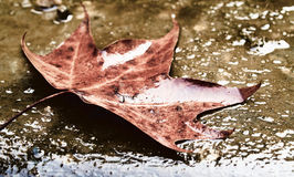 Wet maple leaf. A close-up photo of an isolated  wet maple leaf Royalty Free Stock Photos