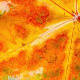 Wet maple leaf background. Wet maple leaf background at autumn day time Royalty Free Stock Images
