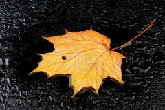 A wet maple leaf Royalty Free Stock Photos