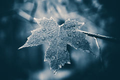 Wet Maple Leaf. Black and white image of a maple leaf after the rain Royalty Free Stock Images