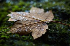Wet maple leaf closeup Royalty Free Stock Images