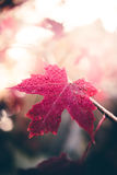Wet Maple Leaf. Image of a maple leaf after the rain Royalty Free Stock Photo