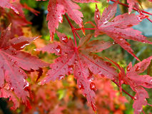 Wet Maple Leaves Stock Images