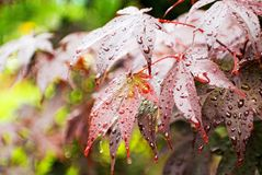 Wet Maple Leaves Royalty Free Stock Photo