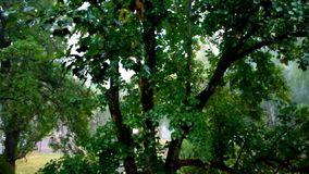 A wet maple tree in the rain.  stock video footage