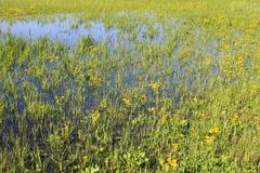 Wet meadow with marsh marigolds. Spring landscape Royalty Free Stock Image