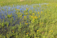 Wet meadow with marsh marigolds Royalty Free Stock Images