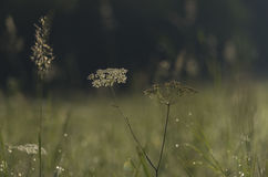 Wet meadow in summer morning Royalty Free Stock Photo