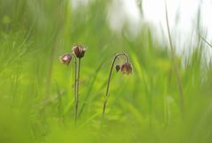 Wet meadows sometimes support this beautiful flower known as water avens Royalty Free Stock Photos