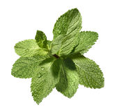 Wet mint leaf bunch isolated on white background. Mint leaf bunch in water drops isolated on white background as package design element Royalty Free Stock Image